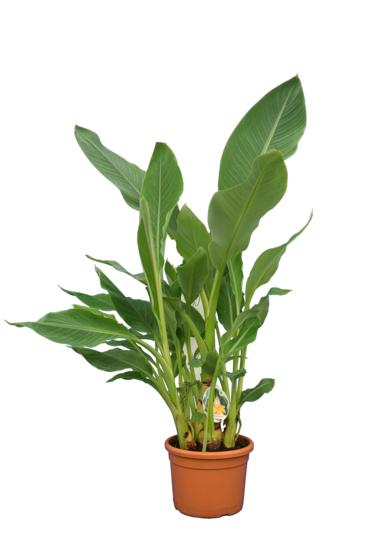Musella lasiocarpa multitrunk - hauteur totale 100-120 cm - pot Ø 24 cm