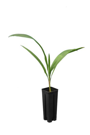 Syagrus romanzoffiana sp. Santa Catarina - hauteur totale 40+ cm - pot 0.7 ltr
