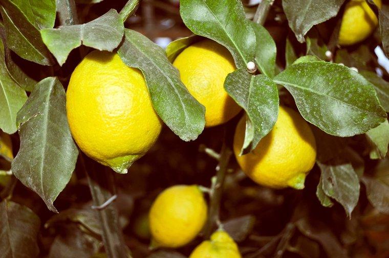 Citrus limon pot - hauteur totale 200+ cm - pot Ø 55 cm [palette]