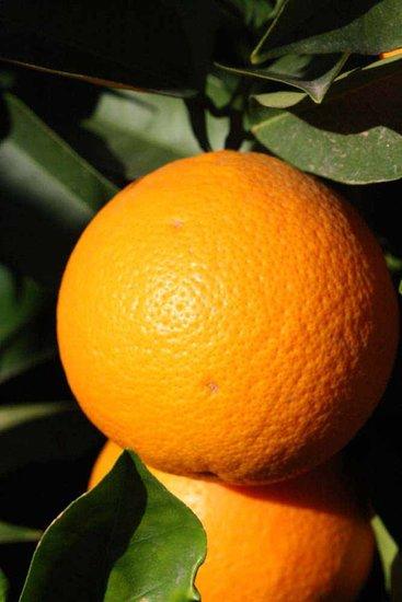 Citrus sinensis - hauteur totale 80-100 cm - pot Ø 22 cm