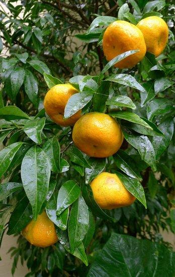 Citrus reticulata - Hauteur totale 140-160 cm - Ø 26 cm pot