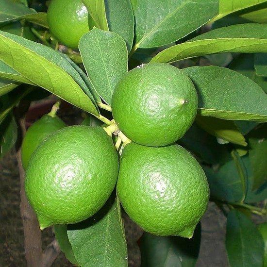 Citrus Limequat - hauteur totale 180-200 cm - pot Ø 35 cm [palette]
