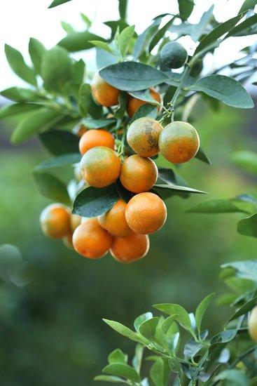 Citrus Kumquat - hauteur totale 120-140 cm - pot Ø 28 cm