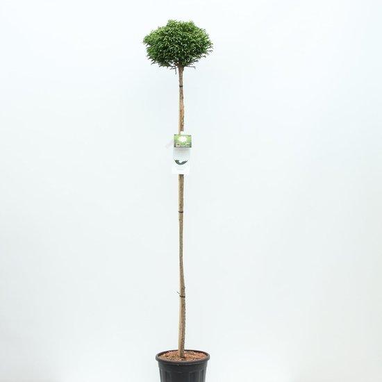 Cryptomeria japonica Little Champion tronc - hauteur totale 200+ cm - pot 18 ltr [Pallet]