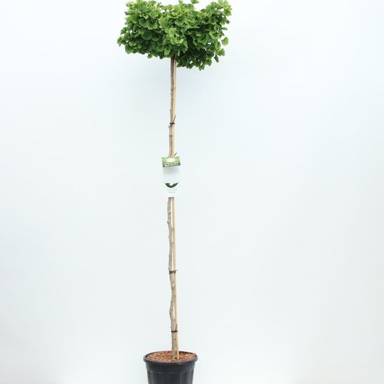 Ginkgo Biloba tronc - hauteur totale 200+ cm - pot 18 ltr [Pallet]
