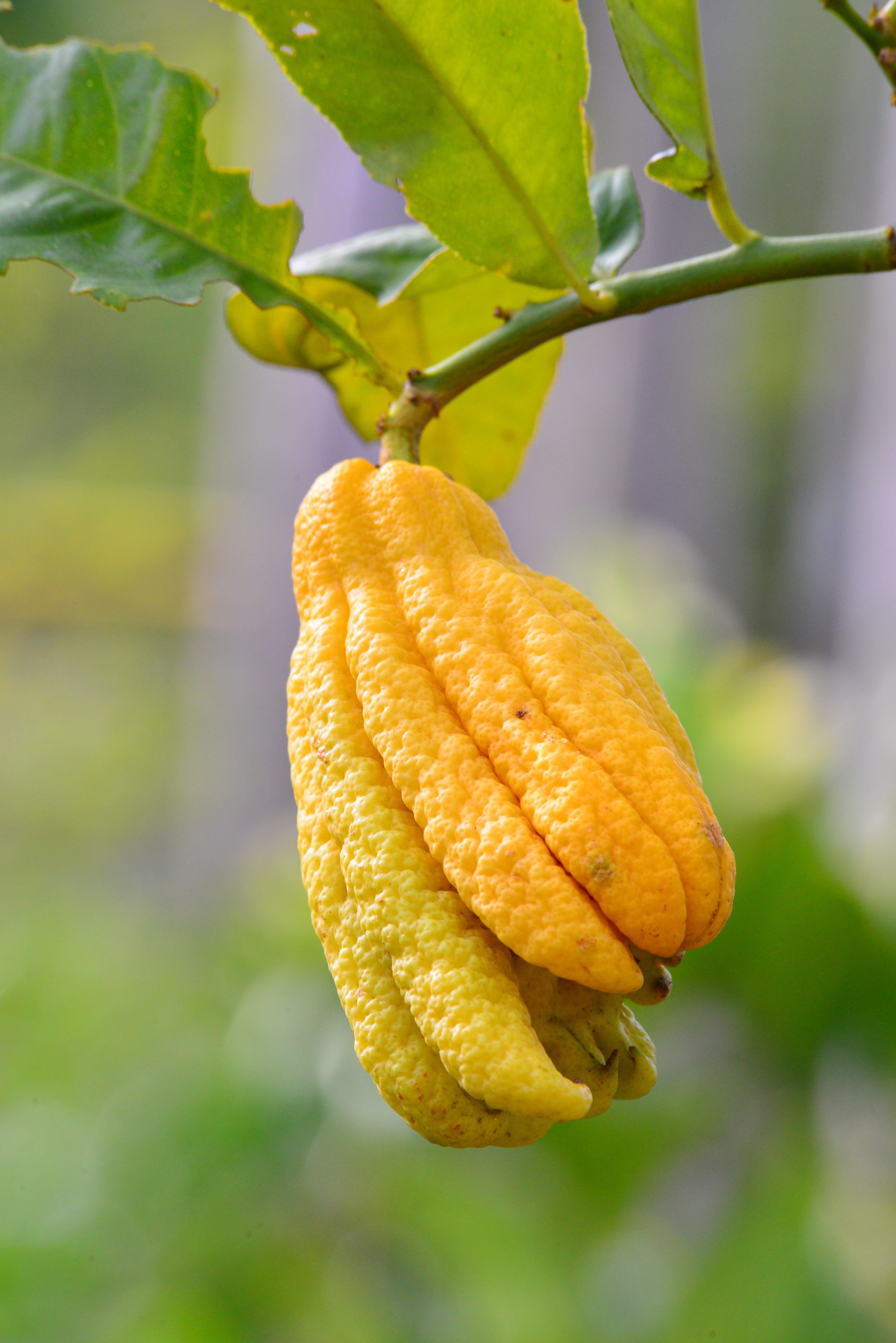 Citrus medica Digitata - hauteur totale 160-180 cm - pot Ø 35 cm