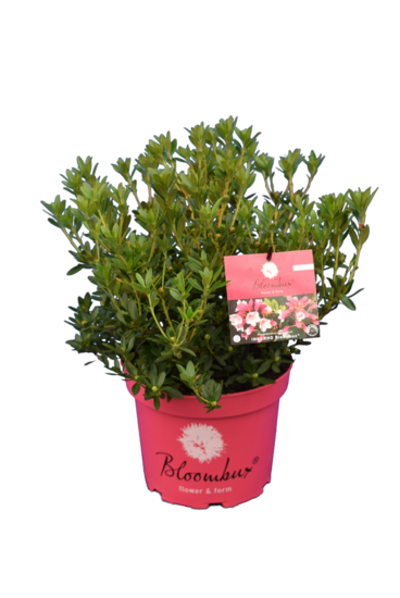 Bloombux - Rhododendron micranthum Microhirs - pot 5 ltr