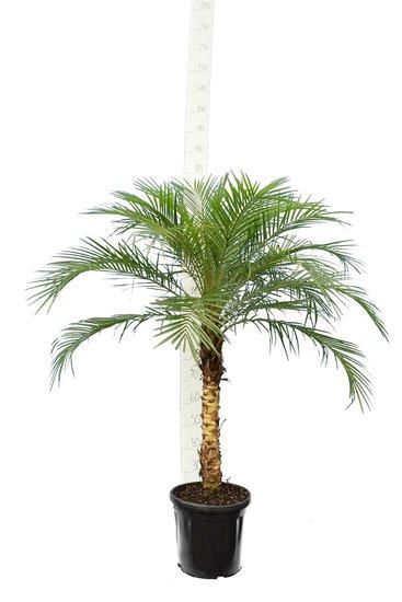 Phoenix roebelenii - tronc 40-50 cm - Hauteur totale 110-130 cm
