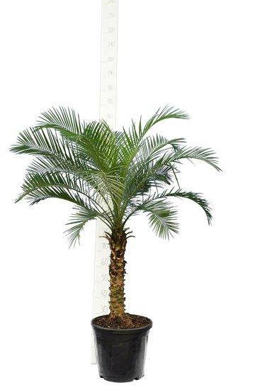 Phoenix roebelenii - tronc 50-60 cm - Hauteur totale 120-140 cm