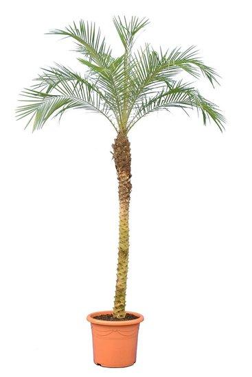 Phoenix roebelenii - tronc 120-140 cm - Hauteur totale 200+ cm - pot Ø 45 cm  [Palette]