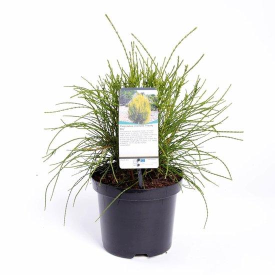 Platycladus orientalis Franky Boy - hauteur totale 40-50 cm - pot 3 ltr