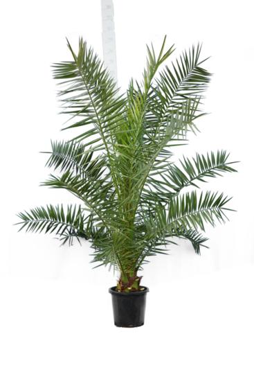 Phoenix canariensis - hauteur totale 200+ cm - pot Ø 35 cm [palette]
