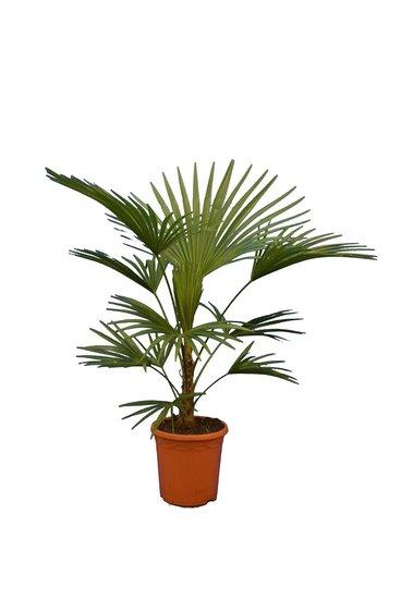 Trachycarpus sp. Nova - stam 20-30 cm - hauteur totale 100-120 cm - pot Ø 26 cm