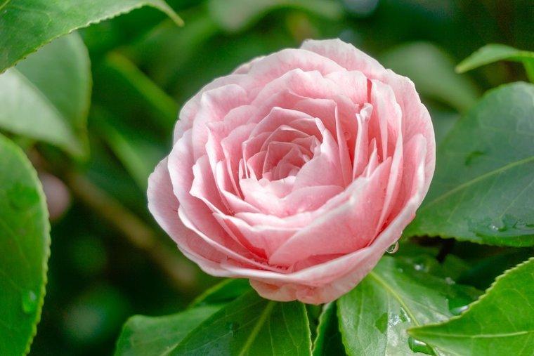 Camellia japonica Bonomiana Nova 3 ltr