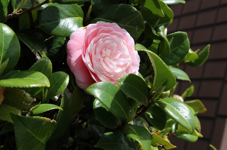 Camellia japonica Double Pink 3 ltr