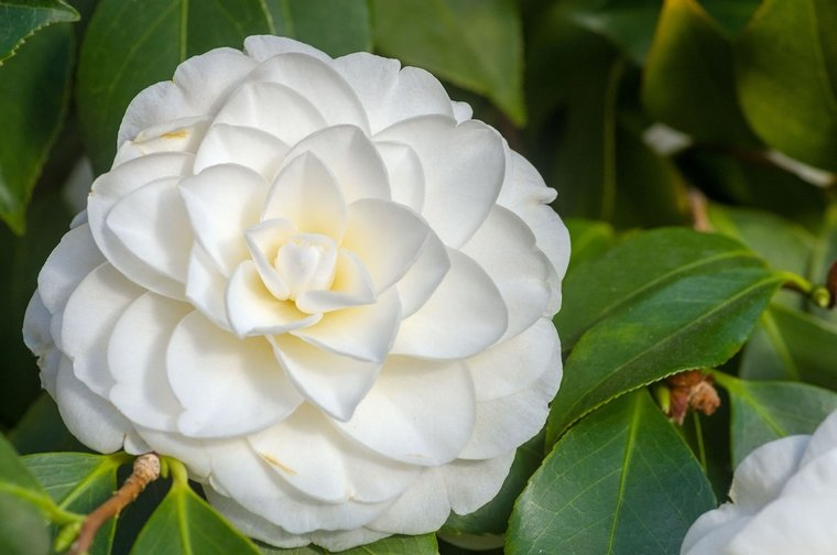 Camellia japonica Alba Plena 3 ltr