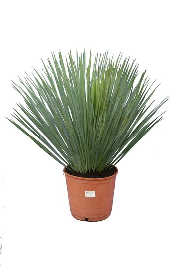 Yucca rostrata hauteur totale 60-80 pot Ø 21 cm