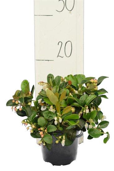 Vaccinium vitis-idea Koralle pot Ø 11 cm