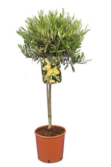 Olea europaea forme sphérique hauteur du tronc 40-60 cm Circumférence 8-12 cm