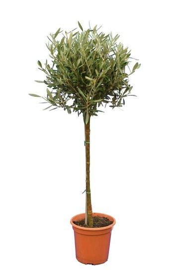 Olea europaea forme sphérique hauteur du tronc 60-80 cm Circumférence 8-12 cm