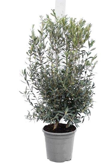 Olea europaea arbuste pot Ø 33 cm
