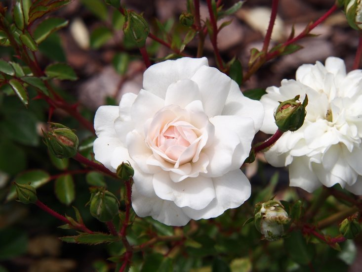 Rosa Sea Foam 1 ltr