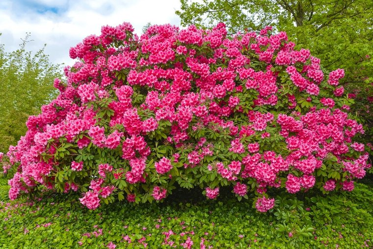 Rhododendron Anne Frank