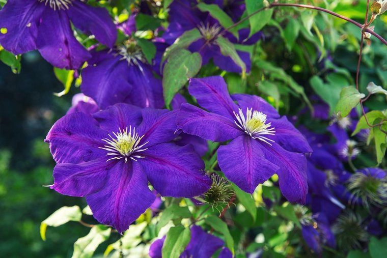 Clematis 'The President' - 1,5 Ltr pot