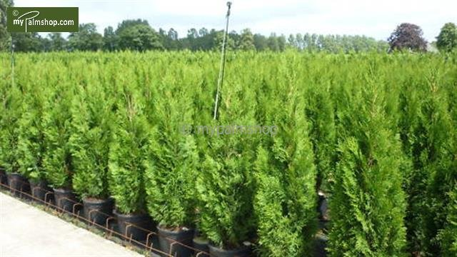 Thuja occidentalis Smaragd (POT) - Hauteur totale 80-100 cm - pot 4 ltr