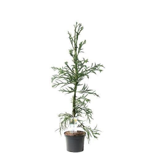 Cryptomeria japonica Rasen - hauteur totale 100-120 cm - pot 5 ltr