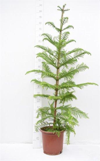 Araucaria heterophylla pot Ø 32 cm [palette]