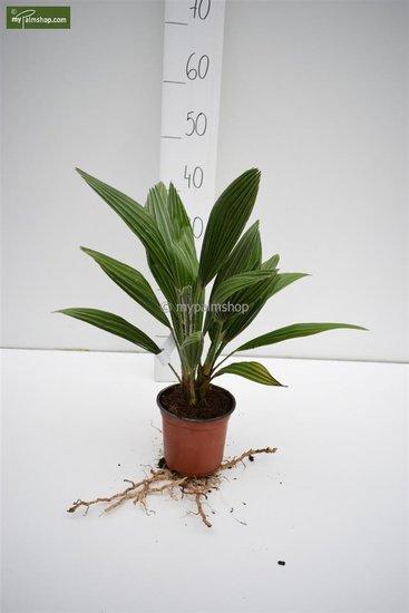Chamaerops humilis Vulcano - hauteur totale 30-40 cm - pot Ø 13 cm