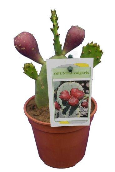Opuntia vulgaris - hauteur totale 20-40 cm - pot Ø 13 cm