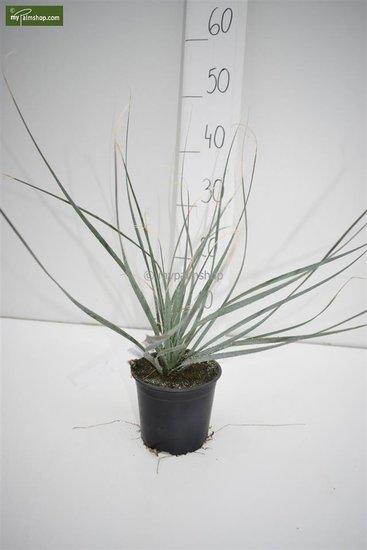 Dasylirion wheelerii - hauteur totale 30-40 cm - pot Ø 13 cm
