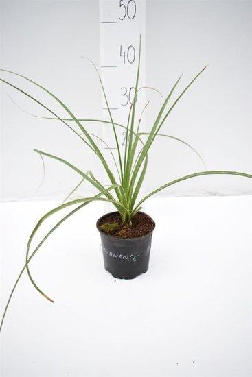 Dasylirion miquihuanensis - hauteur totale 30-40 cm - pot Ø 13 cm