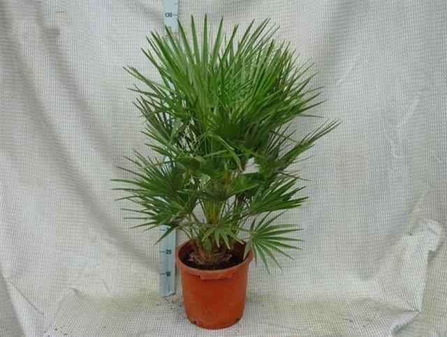 Chamaerops humilis - tronc 15-20 cm - hauteur totale 110-120 cm - pot Ø 30cm
