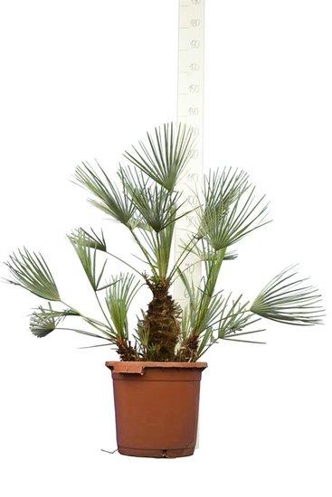 Chamaerops humilis Cerifera - tronc 20-30 cm - hauteur totale 100-120 cm - pot Ø 40 cm [palette]