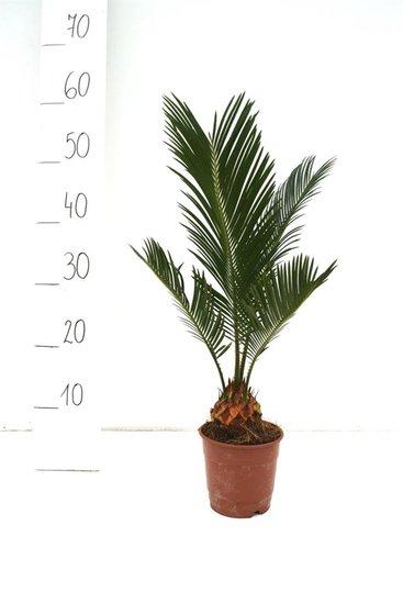 Cycas revoluta - hauteur totale 35-45 cm - pot Ø 12 cm