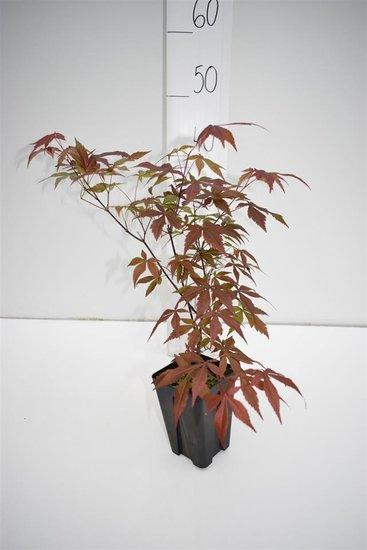 Acer palmatum Atropurpureum - à feuilles pourpres - hauteur totale 30-40 cm - 9x9 cm pot