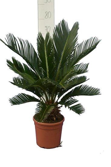 Cycas revoluta - tronc 8+ cm - hauteur totale 50-70 cm - pot Ø 20 cm