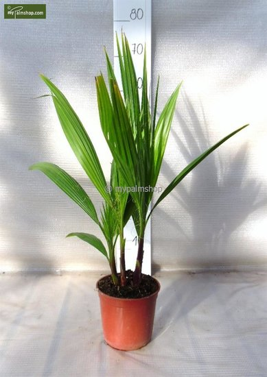 Washingtonia robusta Multitronc pot Ø 15cm - hauteur totale 50-70 cm