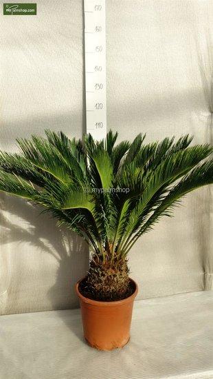 Cycas revoluta - tronc 20 cm - pot Ø 35cm - hauteur totale 55-65 cm [palette]