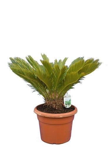Cycas revoluta - hauteur totale 70-90 cm - pot Ø 38 cm [palette]