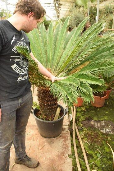 Cycas revoluta - tronc 50-60 cm - hauteur totale 140-160 cm - pot Ø 50 cm [palette]