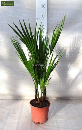 Washingtonia robusta Multitrunc - hauteur totale 70-90 cm - pot Ø 18cm