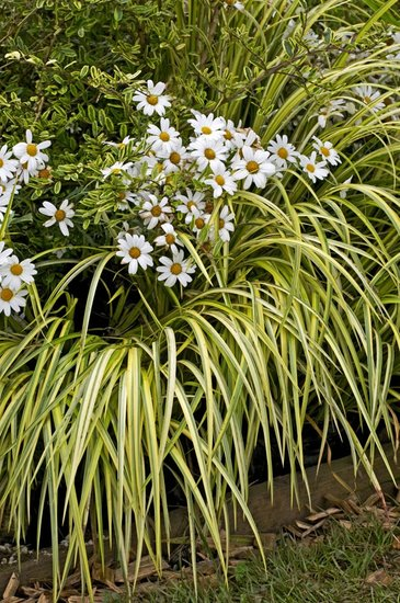 Carex oshimensis Evergold - hauteur totale 30-40 cm - pot 2 ltr