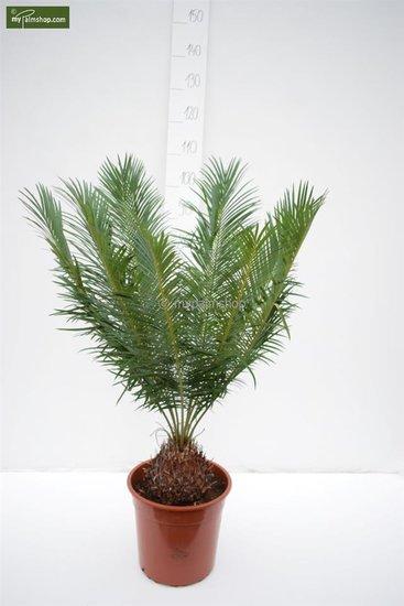 Cycas panzhihuaensis - hauteur totale 80-100 cm - pot Ø 28 cm