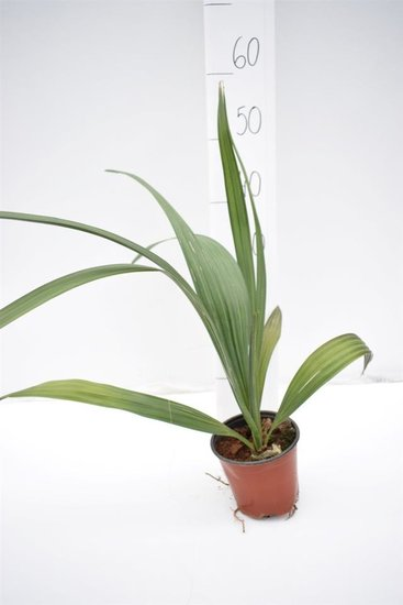 Sabal domingensis - hauteur totale 40-50 cm - pot Ø 14 cm