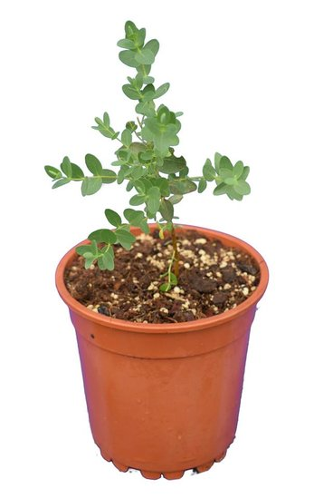 Eucalyptus parvifolia - parvula pot Ø 17 cm