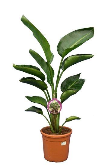 Strelitzia nicolai - hauteur totale 120-140 cm - pot Ø 28 cm - 2 plantes par pot